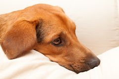 Cute dog resting on the sofa Royalty Free Stock Image