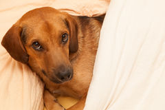Cute dog resting on the sofa Stock Photo