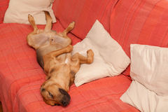 Cute dog resting on the sofa Stock Images