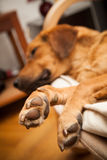 Cute dog resting on the sofa Royalty Free Stock Photography