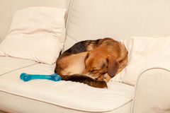 Cute dog resting on the sofa Royalty Free Stock Photo