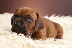 Cute dog resting on white blanket Royalty Free Stock Photos