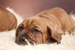 Cute dog resting on white blanket Stock Photo