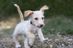 Cute Dog Running Royalty Free Stock Photography