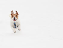 Cute dog running on camera. Jack Russell Terrier on snow background Stock Photos