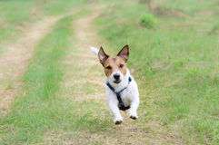 Cute dog running by country road looking at camera Stock Photo