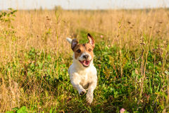 Cute dog running freely at field Royalty Free Stock Photography