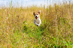 Cute dog running through grass. Jack Russell Terrier at autumn field Royalty Free Stock Image