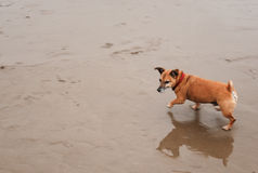 Cute dog running on the sand shore Royalty Free Stock Image