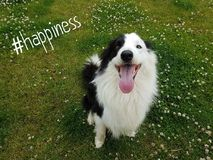 A cute dog. A cute bordercollie which look very very happy royalty free stock photo