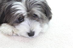 A cute dog. A sad black and white dog looks up Royalty Free Stock Photo