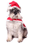 Cute dog in a Santa hat Stock Image