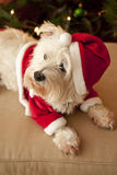 Cute dog in Santa hat. Portrait of cute Bichon Frise West Highland terrier dog in Santa hat and suit with Christmas tree in background stock photos