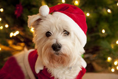Cute dog in santa suit. Portrait of a cute white terrier dog wearing a red and white santa suit stock images