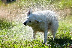 Cute dog shaking itself dry in a spray of water Stock Photos
