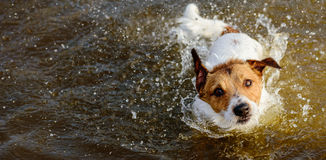 Cute dog shaking off and splashing in water looking at camera Stock Image