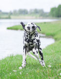 Cute dog shaking off water after swimming in al river or a lake Stock Photo