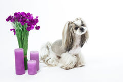 Cute dog, shih-tzu, flowers, candles, gift, grooming. Care of an. Small and beautiful Shih Tzu breed dog on white background, bouquet of flowers, candles, gift Stock Photos