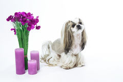 Cute dog, shih-tzu, flowers, candles, gift, grooming. Care of an royalty free stock photography