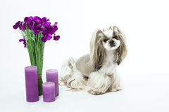 Cute dog, shih-tzu, flowers, candles, gift, grooming. Care of an. Small and beautiful Shih Tzu breed dog on white background, bouquet of flowers, candles, gift Stock Image