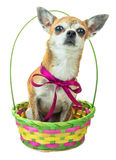 Cute dog sits and listens attentively in colored basket. Dwarf Chihuahua dog with a red bow on isolated background Stock Photography