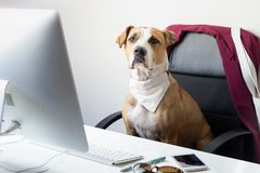 Cute dog sits in office chair at a modern working place. Going t royalty free stock photo