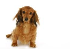 Cute dog sitting Royalty Free Stock Image