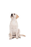 Cute dog sitting alone and looking up. Cute dog standing alone and looking up on white background Royalty Free Stock Images