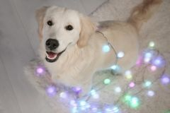 Cute dog sitting with Christmas lights. On floor stock photography