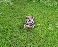 Cute dog sitting in green juicy grass funny sticking out his ton stock images