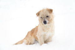 Cute dog sitting in snow. Cute, sleepy dog sitting in snow Royalty Free Stock Images