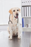 Cute dog sitting with a stethoscope Royalty Free Stock Photo