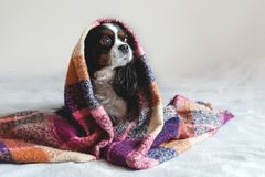 Cute dog sitting under the warm blanket. Cute dog sitting under the warm colorful blanket royalty free stock images