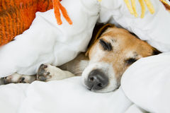 Cute dog is sleeping in bed Royalty Free Stock Images