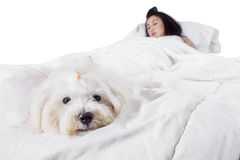 Cute dog sleeping on bed with his owner. Maltese dog sleeping on the bed while accompanying his owner, isolated on white background Stock Image