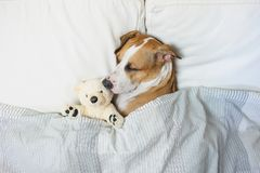 Cute Dog Sleeping In Bed With A Fluffy Toy Bear, Top View. Staff Royalty Free Stock Photography