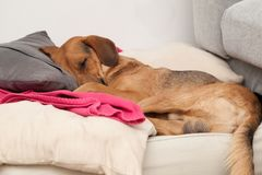 Cute dog sleeping on a pillow stock photography