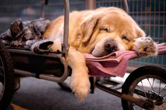 A cute dog sleeping on a trolley. With soft background stock photography