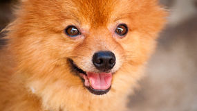 Cute dog smile. Cute brown dog smile, happy dog, friendly dog Stock Photo