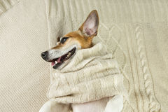Cute dog smiling in knitted scarf lying on the bed Royalty Free Stock Photo