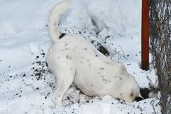 Dog digging a hole in snow Stock Image
