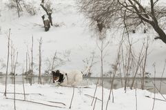 Dog running in snow. Cute dog Smooth Fox Terrier running in snow Stock Images