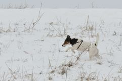 Dog running in snow. Cute dog Smooth Fox Terrier running in snow Royalty Free Stock Image