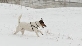 Dog running in snow. Cute dog Smooth Fox Terrier running in snow Stock Photo