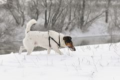 Dog running in snow. Cute dog Smooth Fox Terrier running in snow Stock Photos