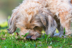 Cute dog sniffles in the grass. Picture of a cute dog sniffling in the grass Royalty Free Stock Photos