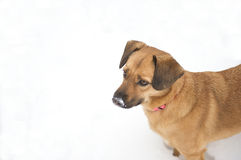Cute dog with snow on her nose. Cute dog standing with snow on her nose after an afternoon of frolicking Stock Images