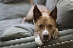 Cute Dog on Sofa. Loving look from pet dog Stock Image