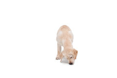 Cute dog standing alone and sniffing Stock Photography