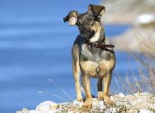 Cute dog. Standing on rocks near sea Stock Photography